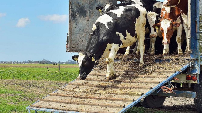 Trasporto Bestiame